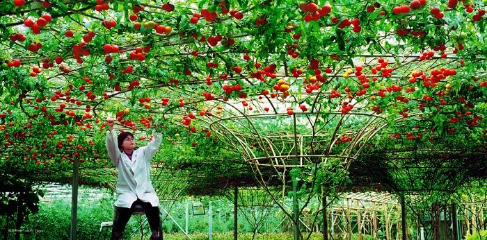 POMUL CARE FACE ROSII se cultivă în România. Produce zeci de mii de tomate și trăiește 7 ani