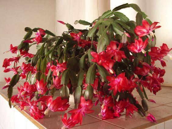 Crăciunița cactus, cum o îngrijești să îți facă flori frumoase si mai ales DE CE ESTE BINE SA O AI IN CASA