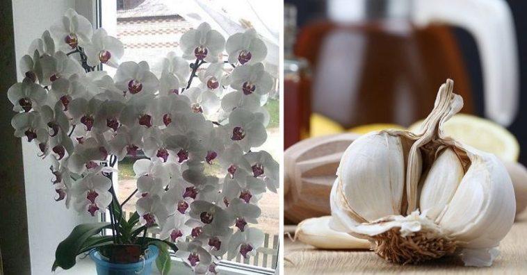 Usturoiul, un elixir pentru orhidee – într-o lună, vei avea o mulțime de flori frumoase