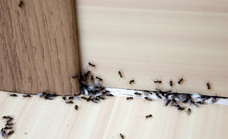 Cum sa elimini furnicile cu cateva trucuri simple?