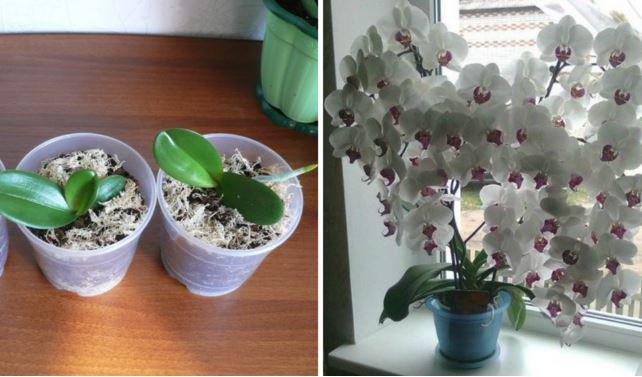 Ai o singură orhidee, dar ți-ar plăcea ca aceste flori să-ți umple casa? Folosește acest ingredient banal din bucătărie, iar într-o lună te vei bucura de o înflorire extrem de bogată!
