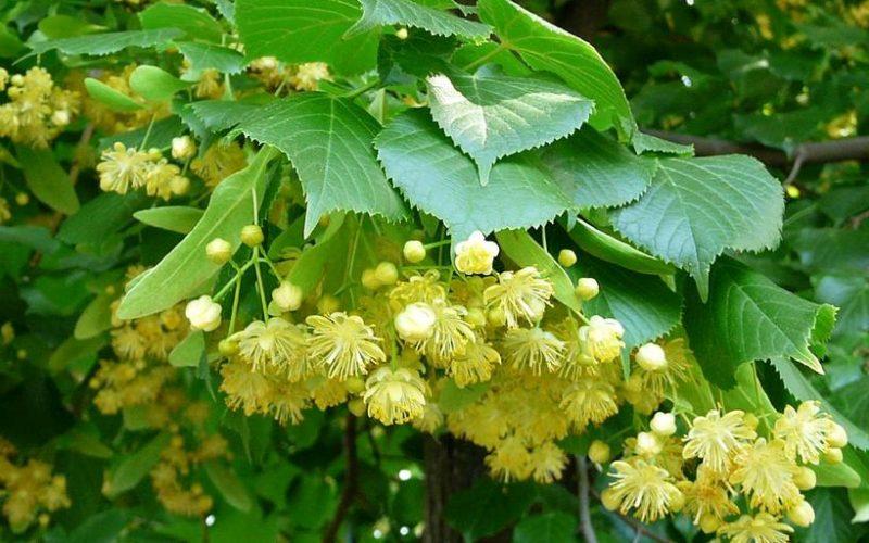 Copacul care vindeca suflete. Beneficiile arborelui de tei – puterea lui vindecatoare atat pentru trup dar si pentru suflet